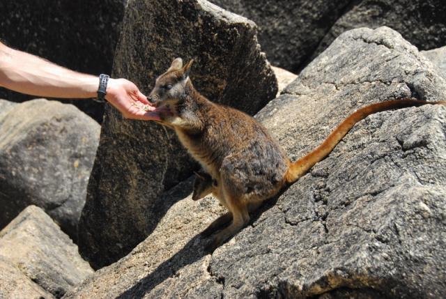 Feeding Rock Wallabies