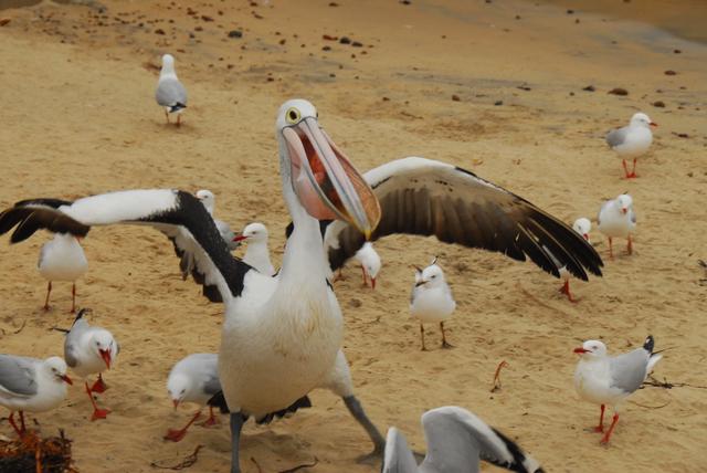 Pelican Feeding at Phillip Island, Victoria