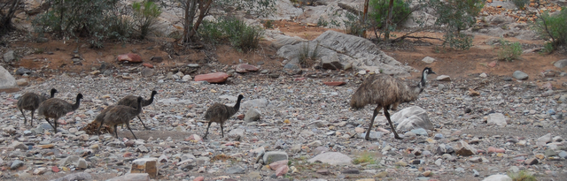 Emu family, Flinders Ranges National Park, South Australia