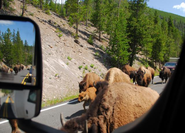 Traffic Jam, Yellowstone National Park